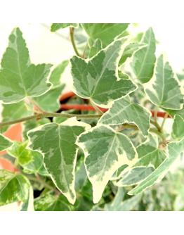 English Ivy (Hanging)