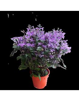 Ajuga Mona Lavender