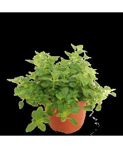 Oregano 皮萨草