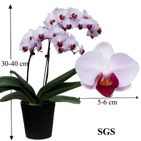 Taiwan Phalaenopsis White Pink Flower (Single Stalk)