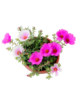 Portulaca Big Flower