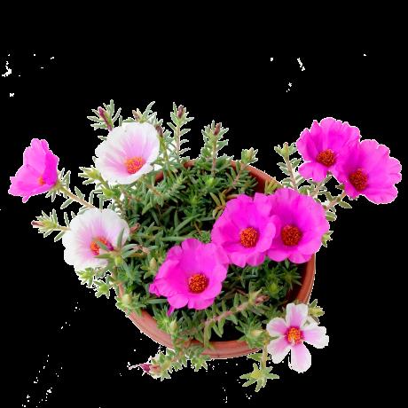 Portulaca Japanese Rose Big Flower