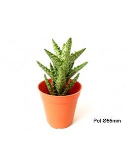 Aloe Star Cactus P55mm
