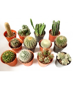 Assorted Mini Cactus P55mm