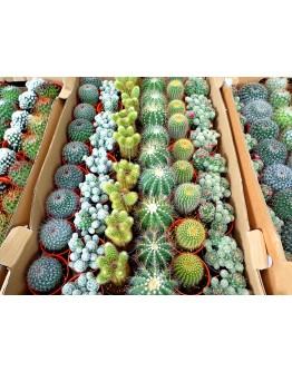 Assorted Mini Cactus P55mm