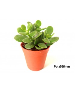 Crassula Mini Jade Plant P55mm