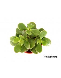 Crassula Mini Jade Plant P55mm