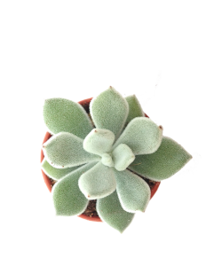 Echeveria 'Doris Taylor' P5.5
