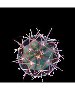 Ferocactus P5.5
