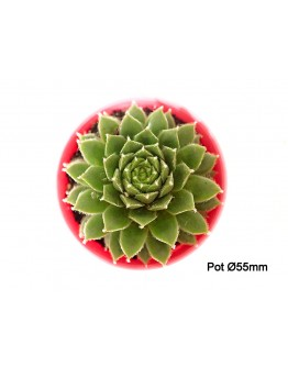 Sempervivum Green Ice P55mm