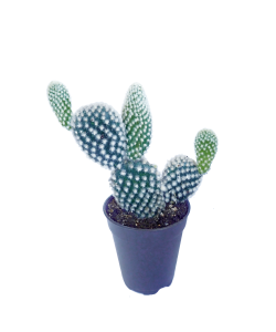 Bunny Ears Cactus P55mm