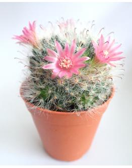 Cactus Ball-Green  P5.5