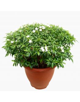 Tabernaemontana Green