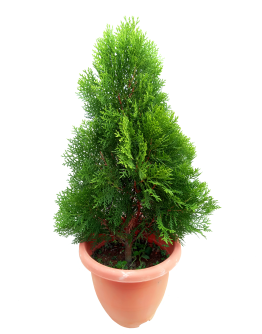 Thuja Pine 扁柏
