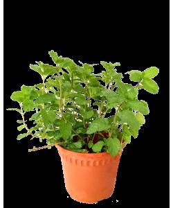 Mint Mentha