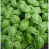 Basil 'Italiano Classico' By The Seeds Master