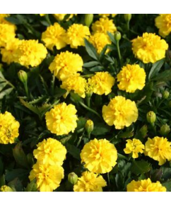 Marigold French 'Valencia' Seeds by The Seeds Master (300-320 seeds)