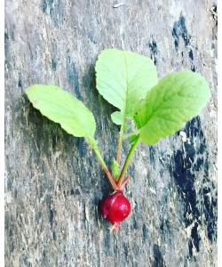 Red Cherry Radish Premium Seeds