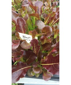 Red Romaine Lettuce Premium Seeds