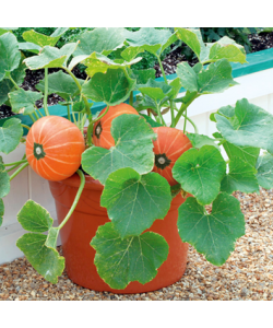 Pumpkin 'Amazonka' Seeds by The Seeds Master (5-10 seeds)