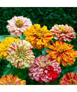 Zinnia 'Candy Stripe Mix' By The Seeds Master